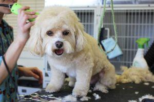 Dog Show Grooming